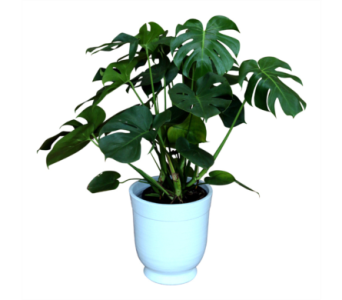 Large Monstera  in Detroit and St. Clair Shores MI, Conner Park Florist