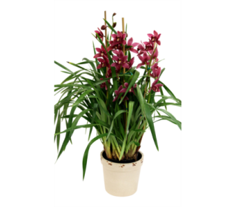 Cymbidium Orchid, Large  in Detroit and St. Clair Shores MI, Conner Park Florist