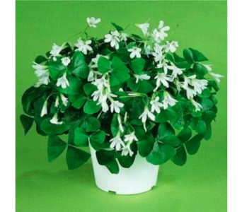 Shamrock Plant in Metropolis IL, Creations The Florist
