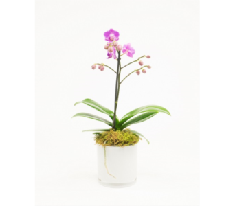 Miniature Orchid Plant  in Little Rock AR, Tipton & Hurst, Inc.