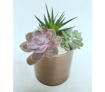 Rose Gold Succulent Garden - 5x5 Cylinder in Wyoming MI, Wyoming Stuyvesant Floral