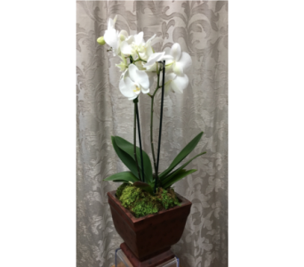 Orchid Plant in Ceramic Base in Staten Island NY, Kitty's and Family Florist Inc.