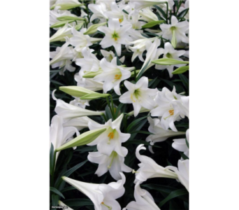 Easter Lilly Plant in Bismarck ND, Dutch Mill Florist, Inc.