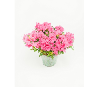Double Basket Azalea Plant in Little Rock AR, Tipton & Hurst, Inc.