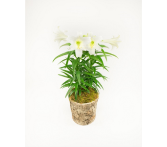 Easter Lily Plant in Little Rock AR, Tipton & Hurst, Inc.