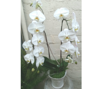 Stately Double White Phal Orchid Plant in West Los Angeles CA, Westwood Flower Garden