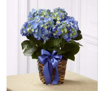 Blooming Hydrangea Plant in Indianapolis IN, George Thomas Florist