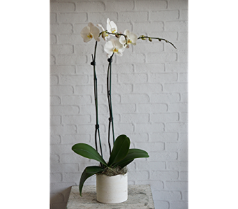 White Orchid in Raleigh NC, North Raleigh Florist