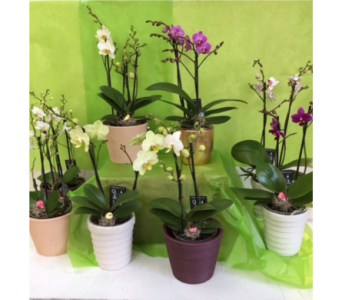 Potted Orchids in Fredericton NB, Trites Flower Shop