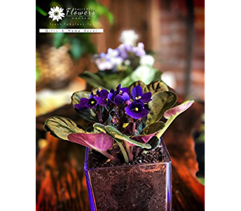 African Violet Plant in Glass Cube in Kalispell MT, Flowers By Hansen, Inc.