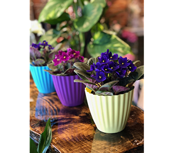 African Violet Plant in Colorful Container in Kalispell MT, Flowers By Hansen, Inc.