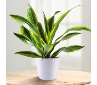 Dracaena lemon lime in Toronto ON, Simply Flowers