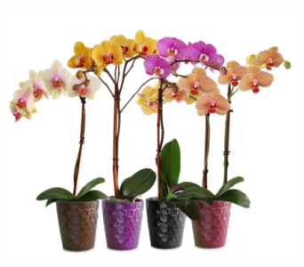 colorful phalanopsis orchids in Toronto ON, Simply Flowers