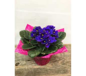 African Violet I in Vermilion AB, Fantasy Flowers