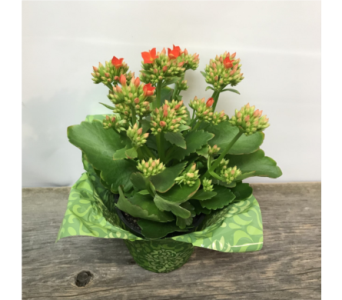 Kalanchoe II in Vermilion AB, Fantasy Flowers
