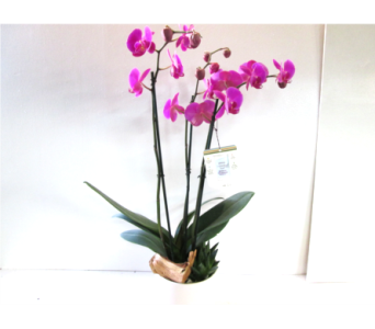 Tuscany Orchid in Worcester MA, Holmes Shusas Florists, Inc