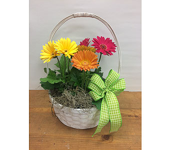 Gerbera Basket in Manhasset NY, Town & Country Flowers