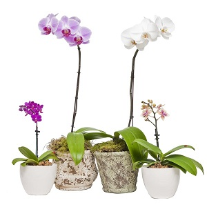 Mini - Orchid in Nashville TN, Emma's Flowers & Gifts, Inc.