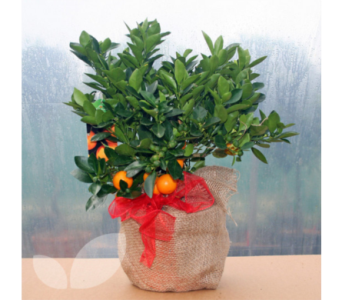 Calamondin Orange Tree in Oliver BC, Flower Fantasy & Gifts