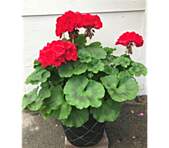 Blooming Geranium Patio Pot in Dayton OH, Furst The Florist & Greenhouses