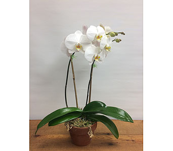 Phalaenopsis orchid plant in Manhasset NY, Town & Country Flowers