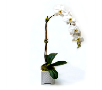 Phalaenopsis Orchid in Eugene OR, The Shamrock Flowers & Gifts