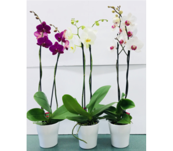 Phalaenopsis Orchid Plant in Tillsonburg ON, Margarets Fernlea Flowers & Gifts