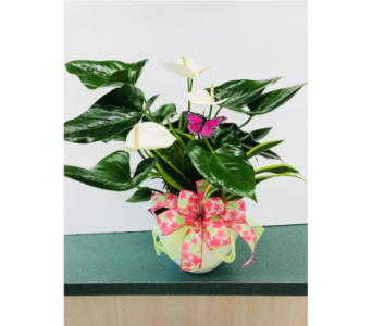Celebrate Mom Anthurium Garden in Tillsonburg ON, Margarets Fernlea Flowers & Gifts