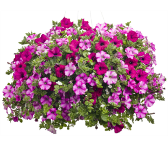 Hanging Basket Annual Flowers in Canandaigua NY, Flowers By Stella