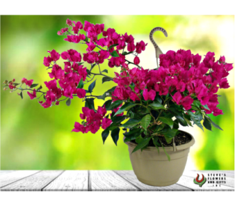 Bougainvillea Hanging Plant in Indianapolis IN, Steve's Flowers and Gifts