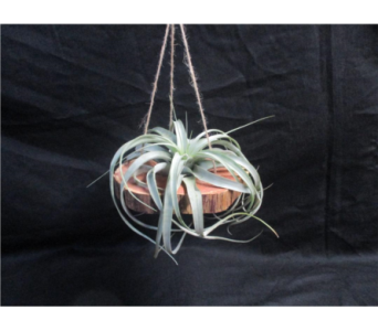 Hanging Air Plant on Cypress Wood in Casper WY, Keefe's Flowers