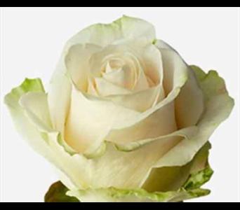 Bulk roses white in ajax on reeds florist ltd bulk roses white in ajax on reeds florist ltd mightylinksfo