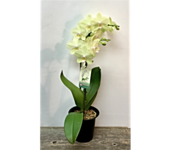 Green Phalaenopsis in Vermilion AB, Fantasy Flowers
