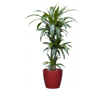 Dracaena Janet Craig in Little Rock AR, Tipton & Hurst, Inc.