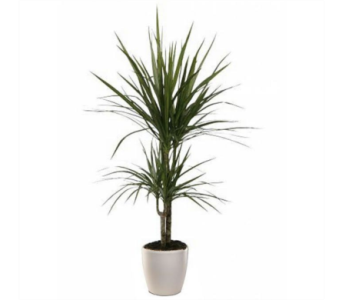 Dracaena Marginata in Little Rock AR, Tipton & Hurst, Inc.