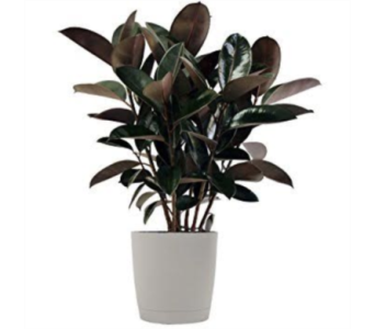 Ficus Elastica - Burgundy Bush in Little Rock AR, Tipton & Hurst, Inc.