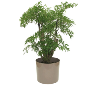 Aralia Ming in Little Rock AR, Tipton & Hurst, Inc.