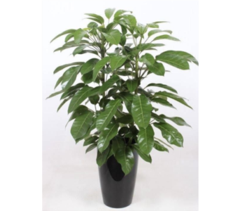 Schefflera Amate in Little Rock AR, Tipton & Hurst, Inc.