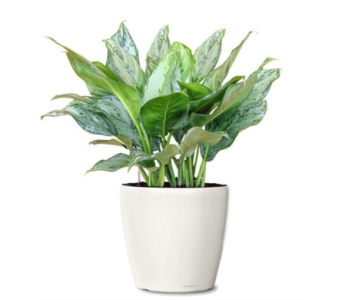 Aglaonema BJ Freeman in Little Rock AR, Tipton & Hurst, Inc.