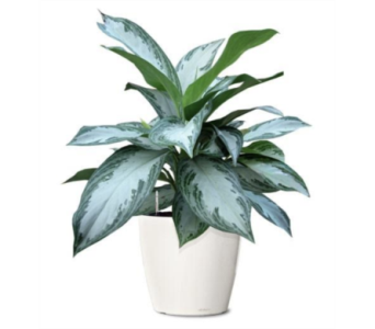 Aglaonema Silver Bay in Little Rock AR, Tipton & Hurst, Inc.