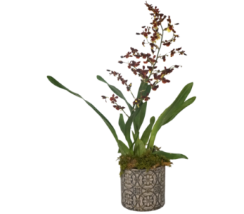 Mini Cymbidium Orchid in Little Rock AR, Tipton & Hurst, Inc.