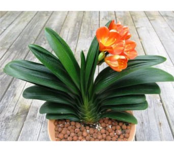 Clivia Plant (Clivia Miniata) in Toronto ON, Simply Flowers
