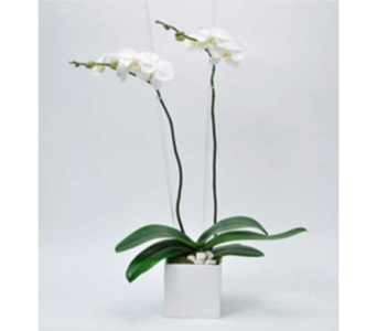 Orchid Plants in Fond Du Lac WI, Haentze Floral Co