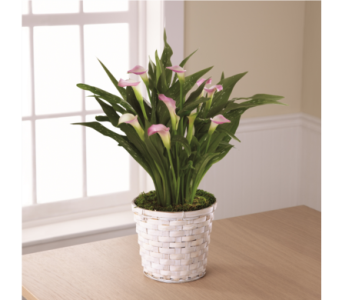 The FTD Calla Lily Planter in Southfield MI, Thrifty Florist
