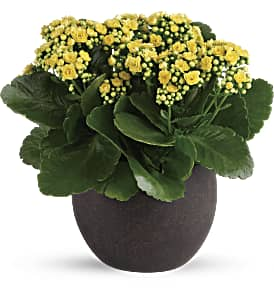 Forever Yellow Kalanchoes in Richmond BC, Touch of Flowers