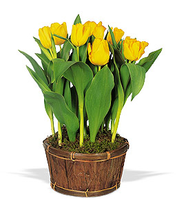Potted Tulips in N Ft Myers FL, Fort Myers Blossom Shoppe Florist & Gifts