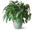 Xanadu Philodendron in New York NY Fellan Florists Floral Galleria
