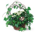 Kalanchoe and Ivy Basket in Hendersonville TN Brown's Florist