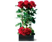 Scarlet Splendor Roses in Norwich NY, Pires Flower Basket, Inc.