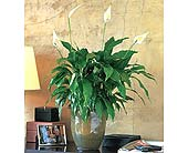 Spathiphyllum Plant, picture